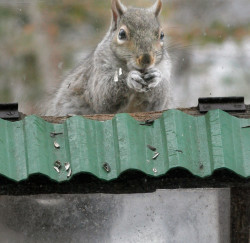 Gregory Rec/Staff Photographer... A squirrel eats birdseed while sitting on top of a bird feeder at a house in Limington in the 2007 file photo.