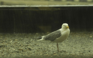 A herring gull braces against a rain storm on the roof of One Civil Center. Each spring and summer the migratory birds nest on the rooftops of Portland buildings. Jeffrey Blackwell/Online Content Producer