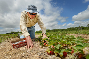 Everett Towle, 80, of Buxton picks strawberries on his hands and knees at Patten's Farm in Gorham. Towle has been picking strawberries at Patten's Farm for years and this is his second time picking this year.