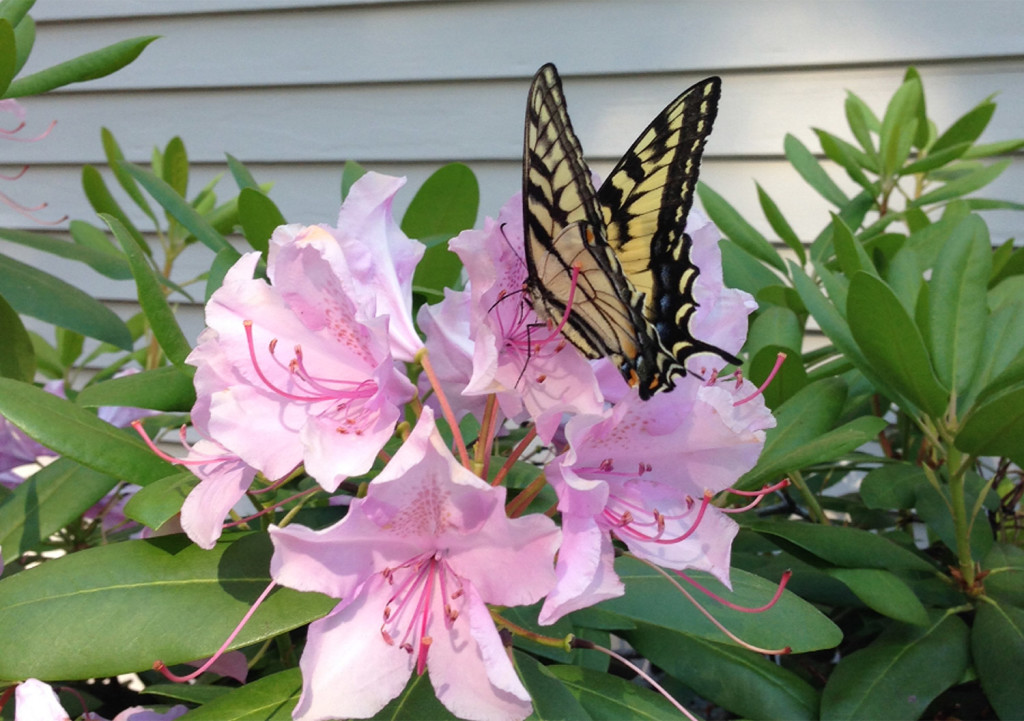 This butterfly found a fine perch just outside Kevin Roberts' front door in Saco.