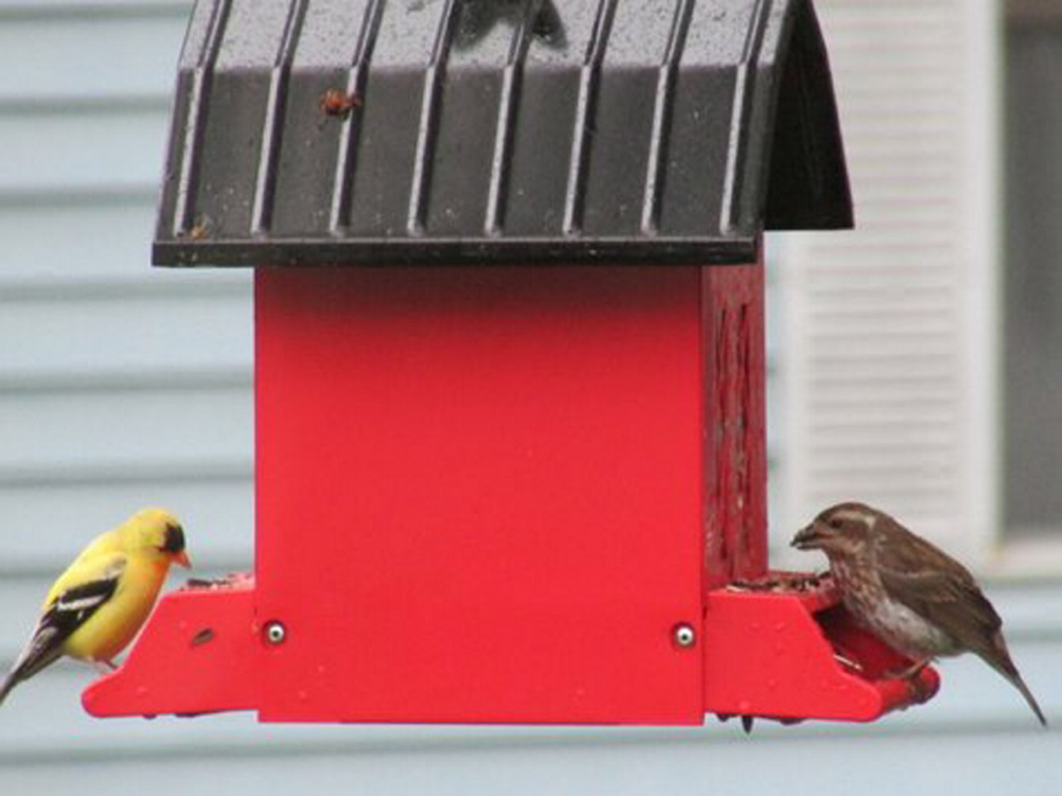 An American gold finch and a sparrow share a meal at Bob Keithley's bird feeder in Saco.