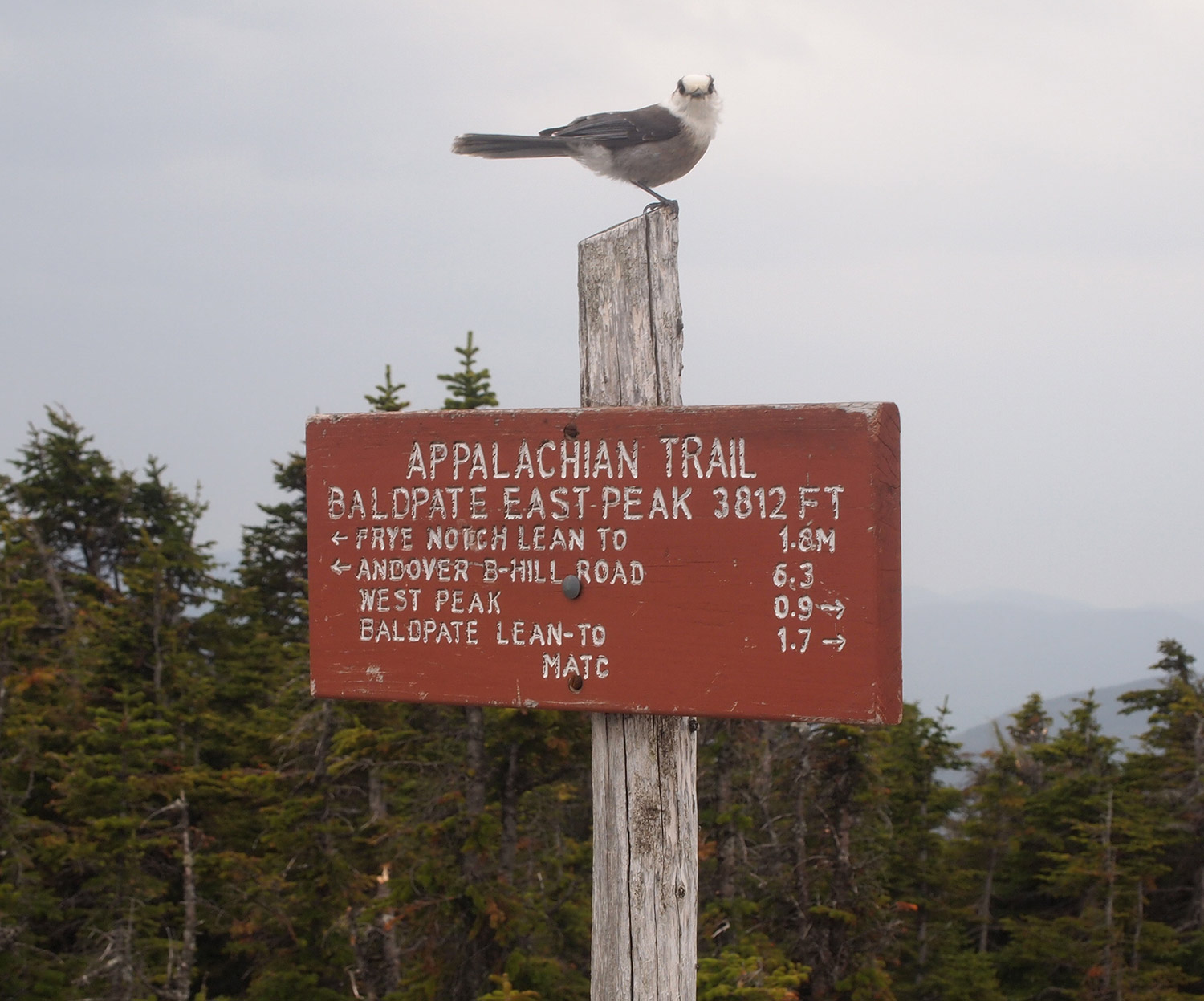 This gray jay greeted Portland's Patti Trygg and her companions at the top of Baldpate Mountain in Grafton Notch on Memorial Day.
