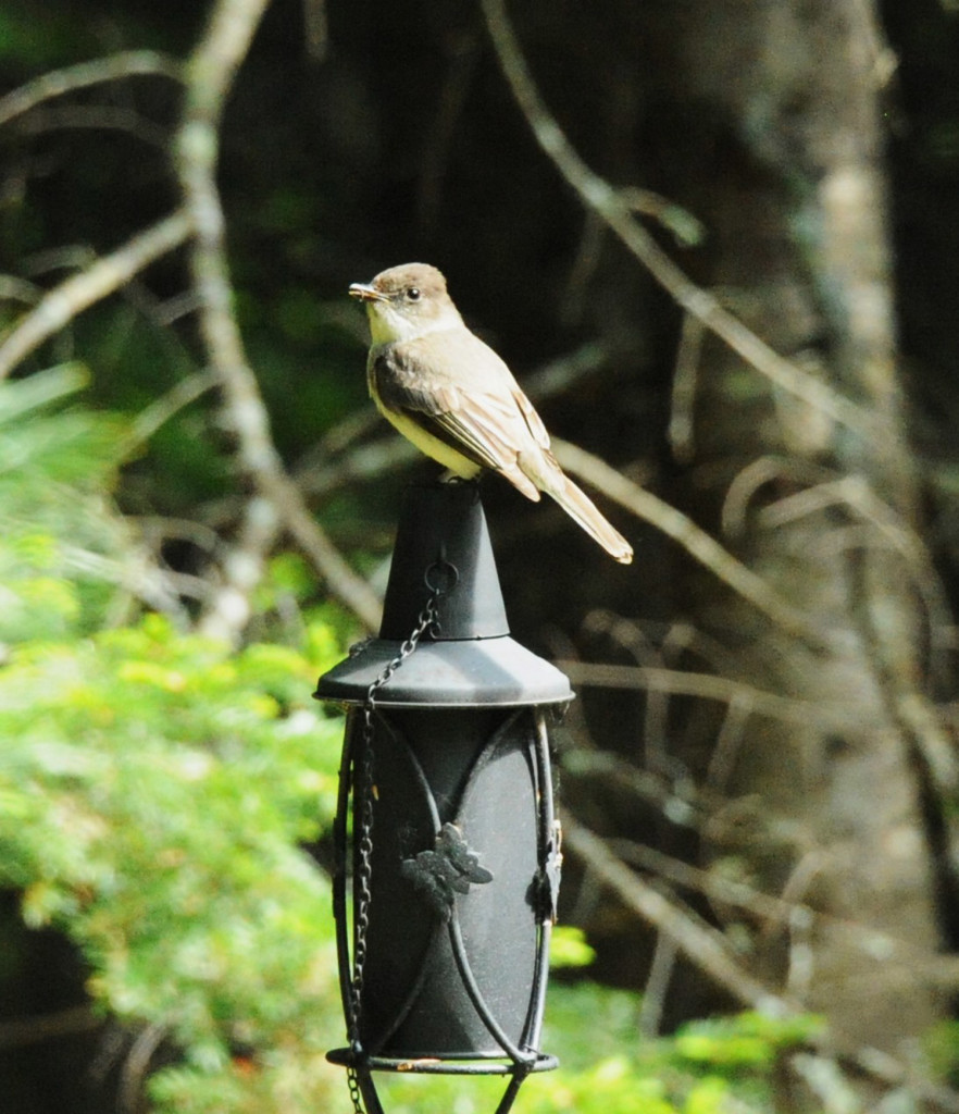 Spencer Morrow, a Boston resident who spends summers in Harmony, submitted this photo of an eastern phoebe that likes to perch on Morrow's tiki torches.