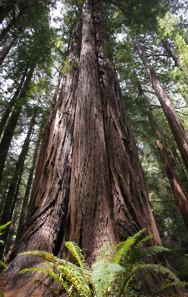 Redwoods reach for the sky at the Muir Woods National Monument, Calif.