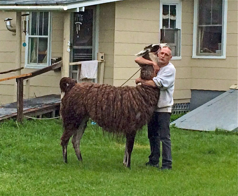 Shawn Quimby hugs the llama that earlier had charged him in Madison. Photo by Rachel Ohm / Morning Sentinel staff writer