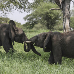 Elephants interact in Tarangire National Park in northern Tanzania. The Tanzanian government estimates that 65,721 elephants died in the country in the last five years, and conservation group TRAFFIC says 45 tons of ivory have flowed to Asian markets since 2009.