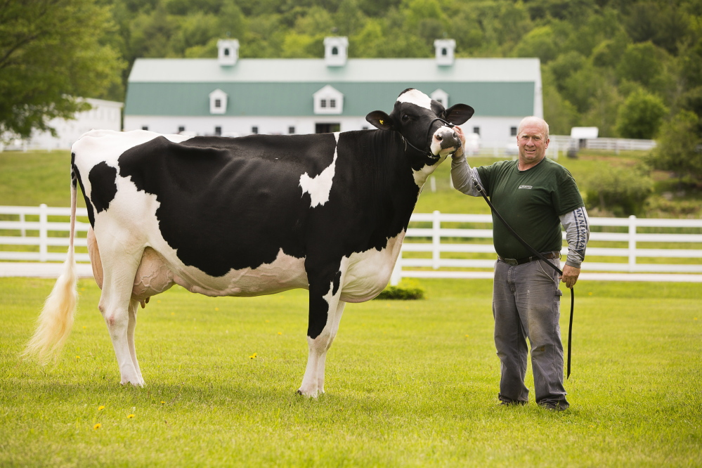 Pineland Farms dairy farmer Blaine Moon holds Hemi, nicknamed the Queen, a prodigious milker recently ranked a stellar 95 on the Holstein Association excellence scale.