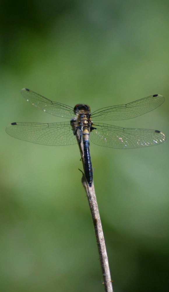Territorial and predatory, a dragonfly rests just briefly on a stick in Heidi Reed's Waterboro front yard.