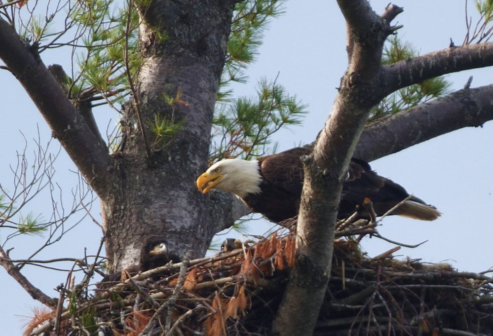 Its eyes scanning for something below, a bald eagle perches on a nest off Norway Lake, while hatchlings hope the fishing will be good. By Ellen Veazey of Norway.