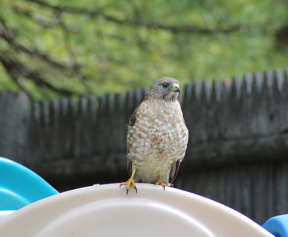 A young hawk has moved into Jaime Steinert Brown's neighborhood in Windham, and finds a child's play set just fine for scanning the grounds for something small and furry. Mighty impressive talons, to be sure.
