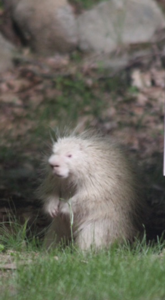 This albino porcupine is sure to attract attention, but is best observed from a distance as it explores Cheryl Goulet's yard in Saco.