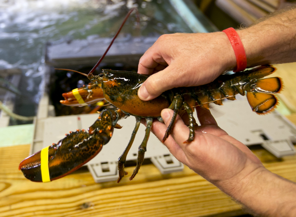 """A lobster is checked to determine if it is a hard shell or a """"shedder"""", a recently molted lobster that is growing back its shell, at the Clam Shack in Kennebunkport, Maine."""
