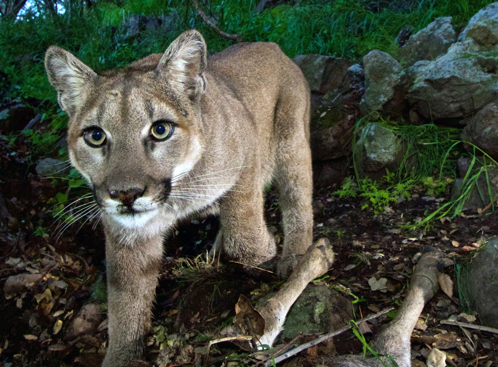 Western mountain lions, like this young female, are expanding their range. The forests of Maine, New Hampshire, Vermont and upstate New York have ideal habitat for them.