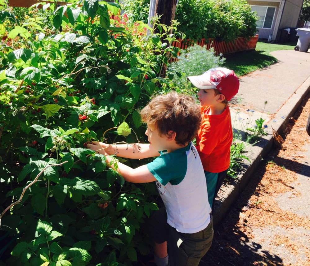 Theo, 4, picks front-yard raspberries with his buddy Hollis Weinsteiger- Brown on a visit to Corvallis, Ore. Today is Theo's 4th birthday.