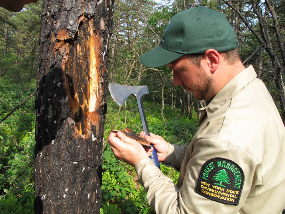 John Wernet, a forester with the New York Department of Environmental Conservation examines bark from a damaged pine tree in the Rocky Point Natural Resources Management Area on June 12. Officials are seeking to determine the extent of an infestation of the southern pine beetle in trees throughout the northeast.