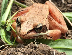 Steve Greenlee, managing editor of the Portland Press Herald and Maine Sunday Telegram, spotted this orange frog in a garden in Cumberland.