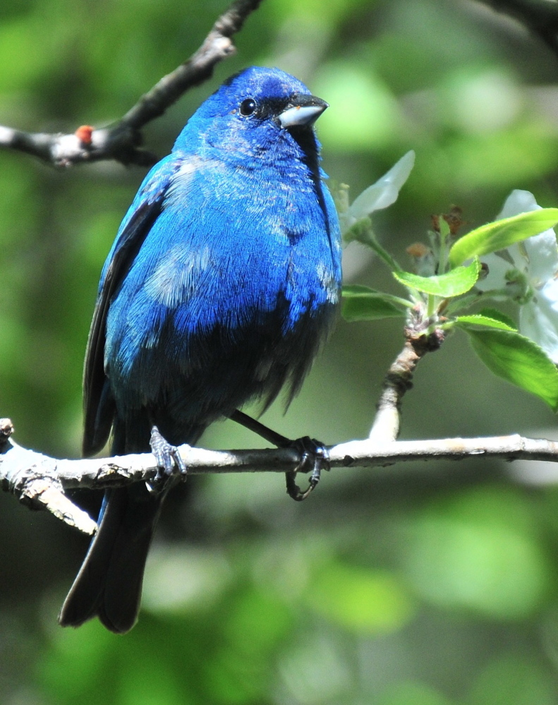 Erik Bartlett, a resident of South Casco for 37 years, said he had never seen an indigo bunting at his bird feeder until he took this photo recently. Bartlett had to act quickly, because the bird didn't stick around for long.