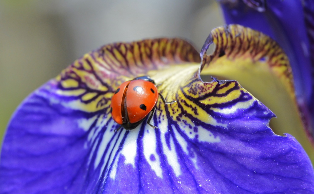 Brian Lovering of New Gloucester, a frequent Your Turn contributor, found these ladybugs around the Iris patches in his gardens.