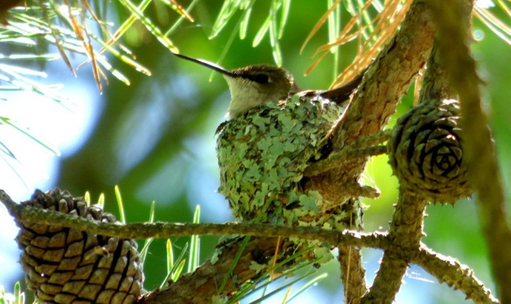 Ruby-throated hummingbird nests are so tiny they're almost never seen, says Brad Woodward of Old Orchard Beach, who spied a female hummingbird sitting on a lichen-covered nest in a small pine tree during a York County Audubon walk in Biddeford