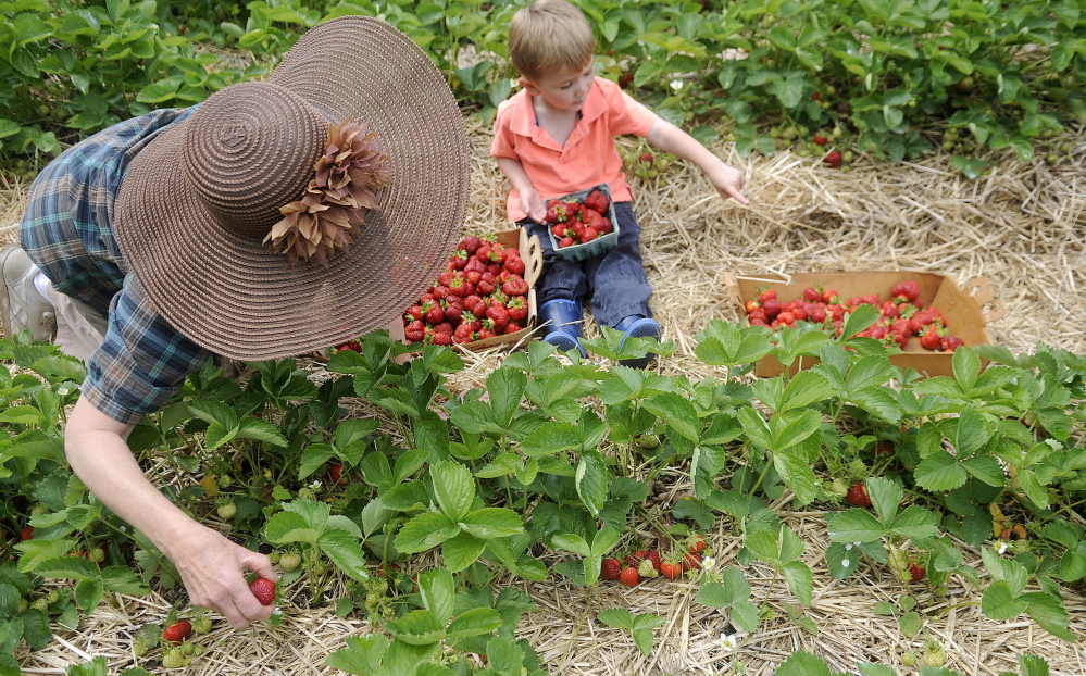 Cole Arbour, 4, helps his grandmother Jeanne Rocque pick berries Monday at Stevenson's Strawberries in Wayne.