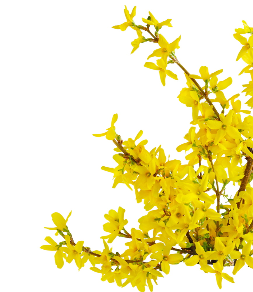 A forsythia shrub