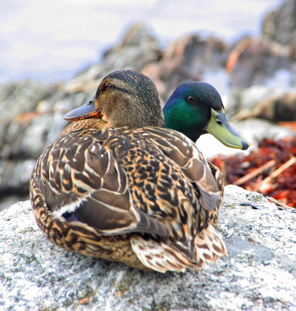 Genetic engineering hasn't yet created a two-headed duck; this pair at Five Islands Harbor just gave that impression to Georgetown's Diann Longstreet.