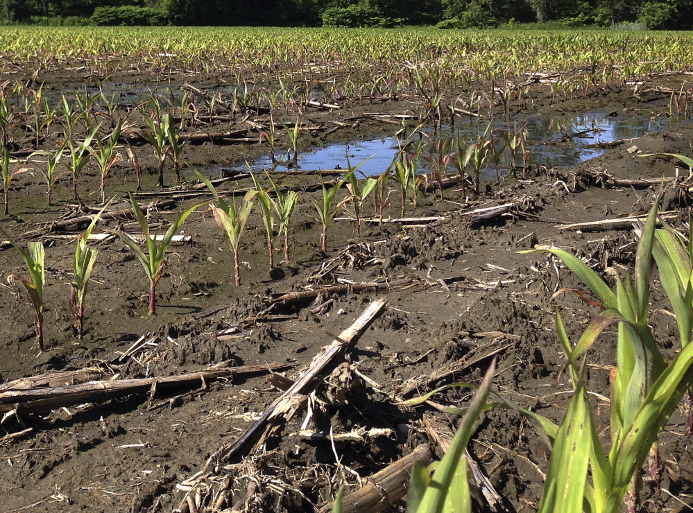 Corn grows slowly in a rain-soaked field on Friday in Plainfield, Vt. The abundant rain in June after a dry spring made some fields too muddy for farm machinery and has delayed the crucial first cutting of hay for livestock in some parts of northern New England.