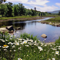 In this June 20, 2005 file photo, flowers in bloom by a stream are seen in Acadia National Park. The Associated Press