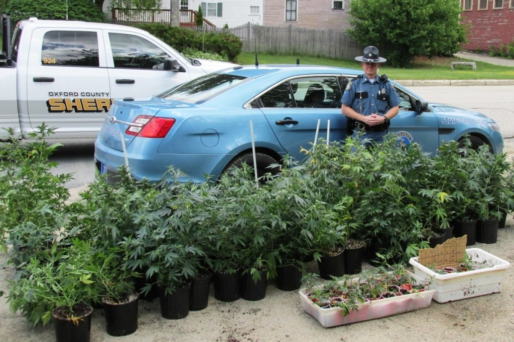 Police say they seized 109 marijuana plants this week in Porter. Maine State Police photo
