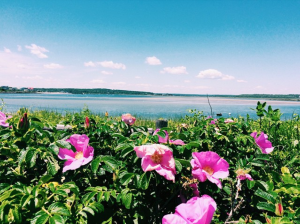 Beach roses on Ferry Beach in Scarborough by @krispy_kritter
