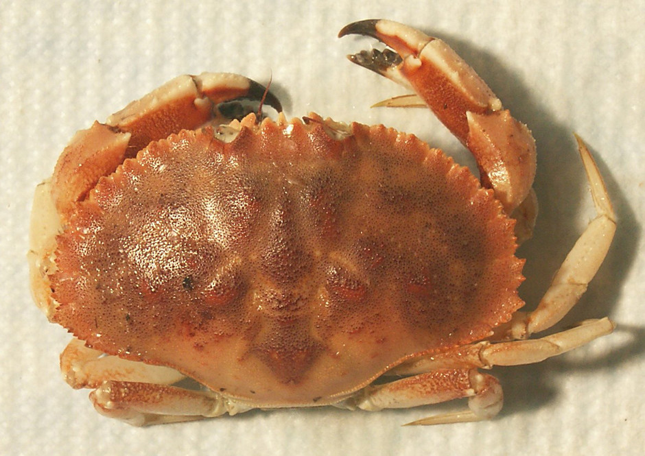 The Jonah crab is a cheaper alternative to Dungeness and stone crabs.