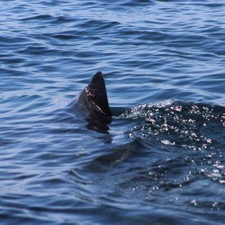 The fin of possibly a great white shark that was spotted about a half mile off Moody Beach. Photo by Jon Thibault