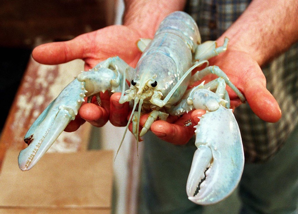 In this November 12, 1997 file photo William Coppersmith holds a white lobster he caught in Casco Bay. Jack Milton/Staff Photographer