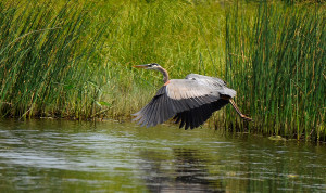 A great blue heron flies along the tall grasses on the Androscoggin River near Riverlands State Park in Turner.