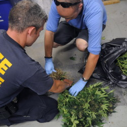 Maine State Police Sgt. Jon Leach, left, and Trooper Chris Rogers cut the stems off marijuana plants Tuesday at the state police barracks in Augusta. The plants were seized at a building in West Gardiner.