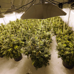 Marijuana plants sit under powerful lamps in a growing facility in Arlington, Wash.