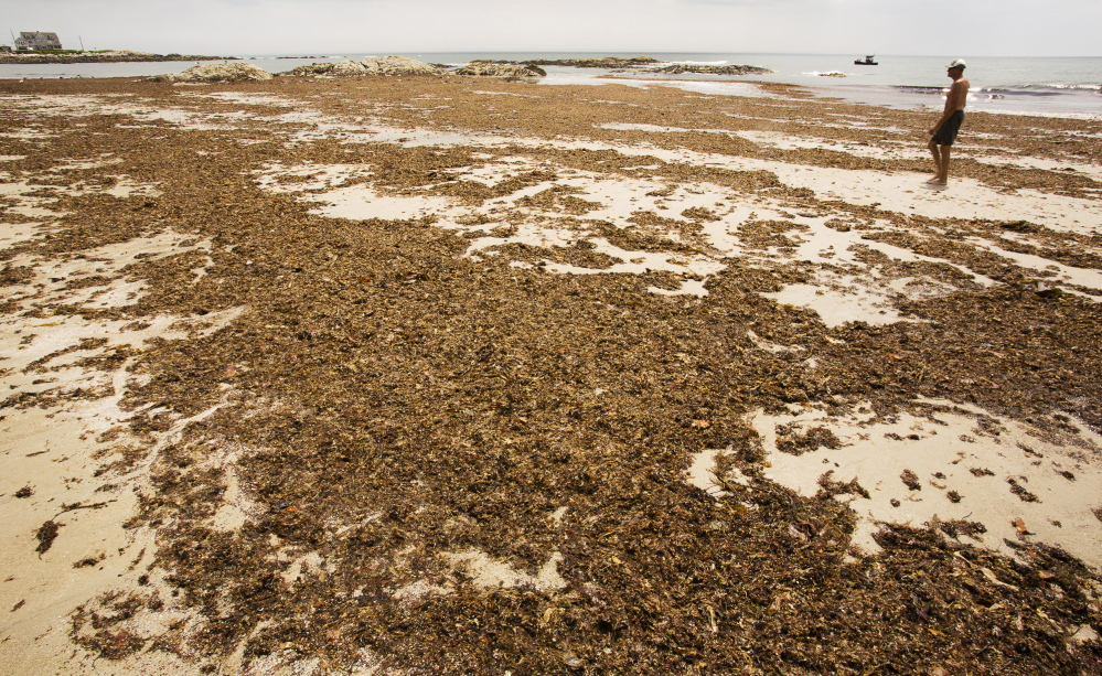 "A mass of seaweed deposited during a June storm covers much of the sand on Bathhouse Beach at Biddeford Pool. Officials have spent the week fielding calls, emails and Facebook comments about it, including one post calling it ""Seaweedgate."""