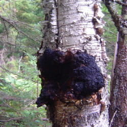 A chaga mushroom grows out of a birch tree in northern Maine. Some people drink an ostensibly medicinal tea made from this fungus.