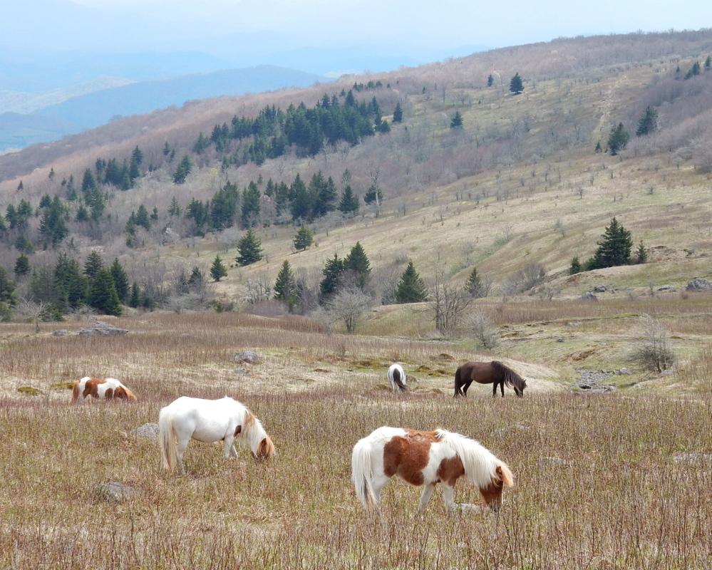 Feral ponies, about the size of Shetlands, graze in a meadow on Mount Rogers, where they roam freely.
