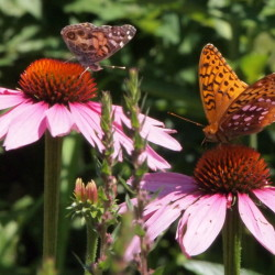 Two butterflies enjoy each other's company, possibly giving each other tips about other gardens in the neighborhood, while feeding in Roger Marchand's perennial garden in Gorham.