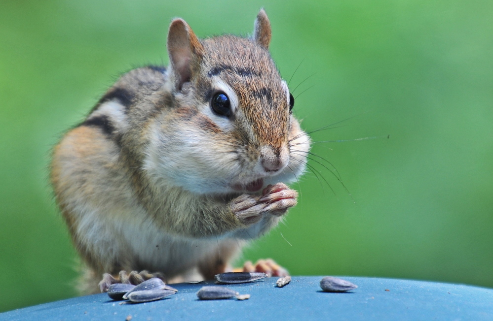 Erik Bartlett of South Casco put a few sunflower seeds on his grill cover, then watched this chipmunk climb on top of the grill for a snack.