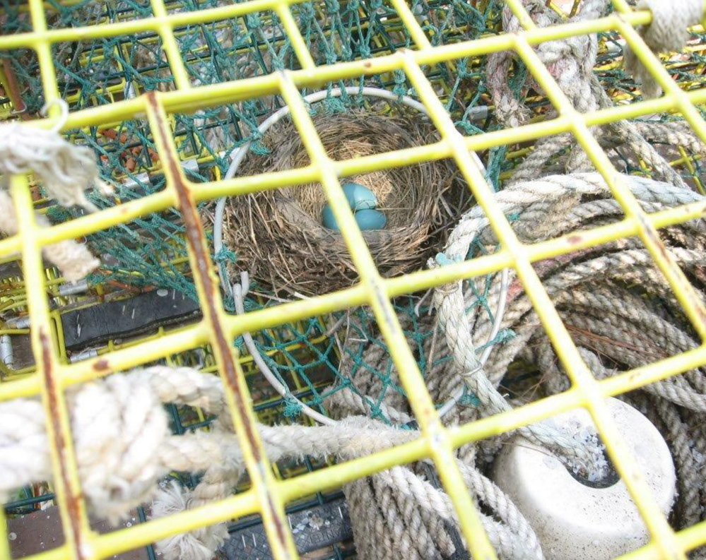 This lobster trap in Cape Neddick at the home of Kenneth Young can't be set until the robin hatches her eggs and the birds leave the nest.