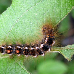 The prickly hairs covering the body of the browntail moth caterpillar can cause skin rashes in humans.