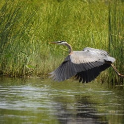 Great blue herons, along with other majestic waterfowl, may be a paddler's only company on this stretch of the Androscoggin River in Turner – and that's just as it should be.