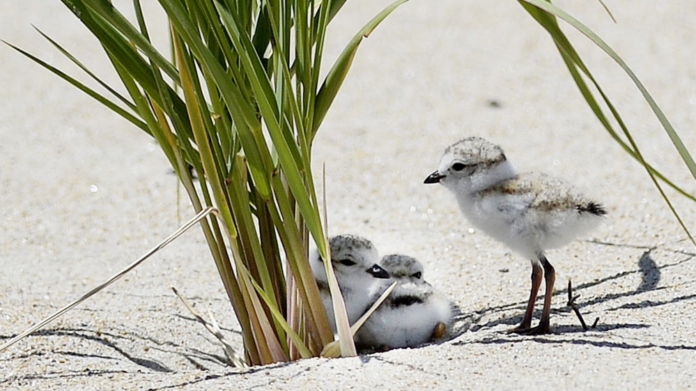 Young piping plovers spend time in the dunes of Old Orchard Beach in June 2014.