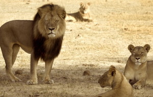 With Cecil, left, dead, Zimbabwe conservationists fear that the new dominant lion will kill Cecil's cubs.