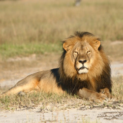 Cecil the lion was believed to have been shot with a crossbow by Minnesota dentist Dr. Walter Palmer.  The wounded animal was then tracked for more than 40 hours before Palmer fatally shot it with a gun.