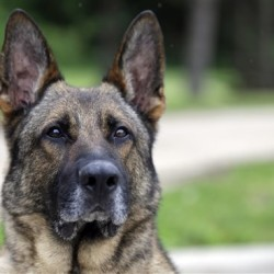 Axel, a 5-year-old German shepherd that spent three years in Afghanistan as a search and narcotics dog, will spend the rest of his working career in Indianapolis, where he's been assigned to the Lawrence Township School District police force. The Associated Press