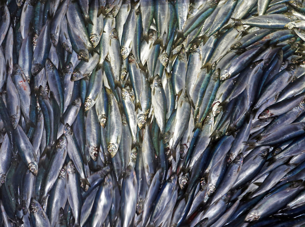New England fishermen are catching staggering amounts of herring, signaling the rebounding of a fishery that collapsed in the early 2000s. Robert F. Bukaty / The Associated Press