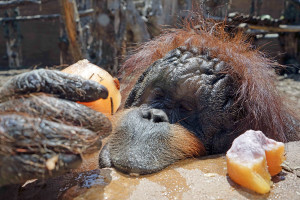 JULY 2: An orangutan eats a popsicle provided by Rome's zookeepers to help the animals cool off. A mass of hot air from North Africa was pushing across southern Europe temperatures as high as 114 degrees Fahrenheit.
